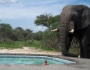 Elefant am Pool