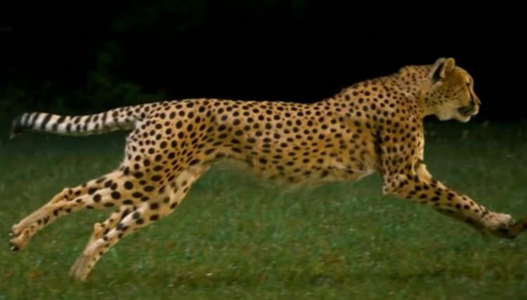 gepard spiele