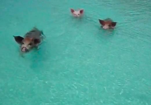 schwimmende schweine karibik